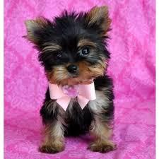 ??? Tiny Micro Teacup Yorkies Puppies:....??? (510) 371-4297