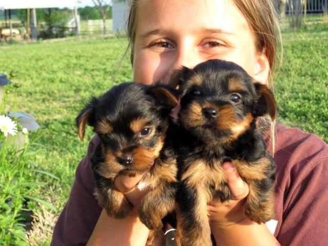 XMASS Tiny CUTE Tea-cup Yorkies Pu.ppies to Good homes, (734)212-6404.