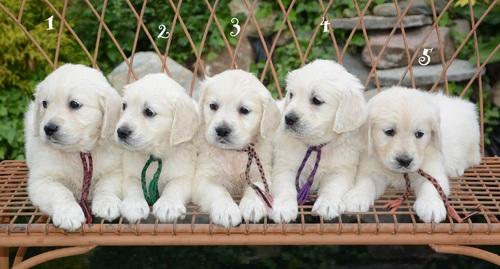 Quality Goldens Retrievers Puppies:contact us at(347) 696-0307