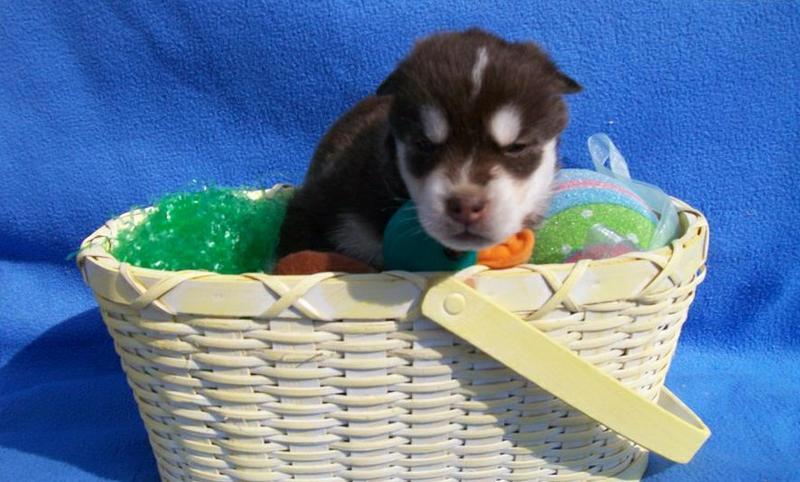 FREE FREE CUTE S.I.B.E.R.I.A.N .U.S.K.Y Puppies:???