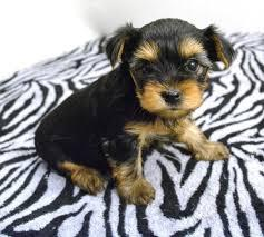 Teacup Y.o.r.k.i.e Puppies For Rehome Contact# (254) 836-2882...;';