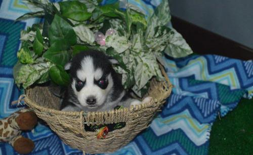 CUTE S.I.B.E.R.I.A.N H.U.S.K.Y Puppies:???contact us at (518) 618-2746