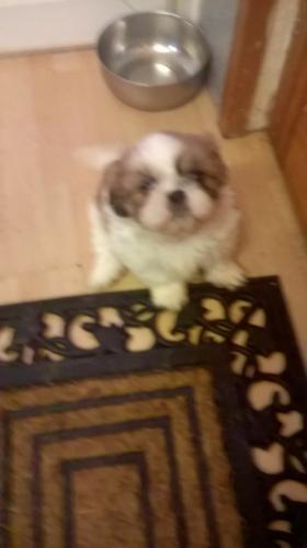** Shih Tzu Puppies;(256) 756-4923