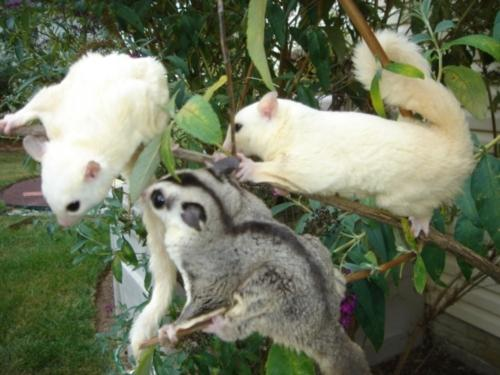 Dont Miss Out Male And Female Sugar Gliders