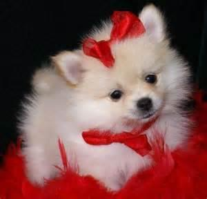 Pomeranianss Puppies Available (424) 781-8567