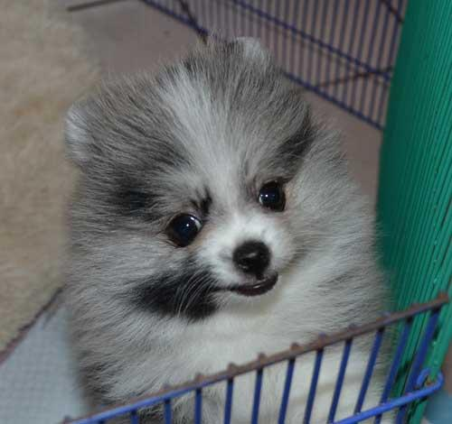 Female Pomeranian puppy for rehoming!