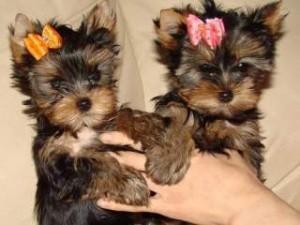 Pretty Female and Male Tea Cup Y.O.R.K.I.E puppies (720) 295-2491