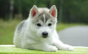 Husky - Fawn Grey&White with blue eyes