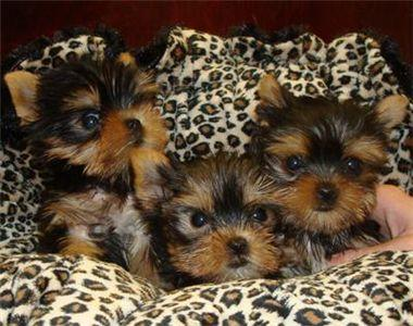 Wow Affectionate Teacup Yorkie Puppy For  Loving 7205516894