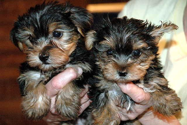 Female and Male M.o.rkkies Pu.pp.ies in need of a good home(919) 391-8697