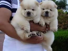 Two Teacup chow chow Puppies Needs a New Family