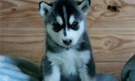 CUTE S.I.B.E.R.I.A.N .U.S.K.Y Puppies:??? (410) 989-9646