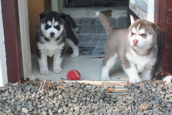 JUVIAL S.I.B.E.R.I.A.N H.U.S.K.Y Puppies!@