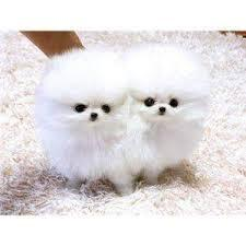 Male and female Pomeranians puppies.