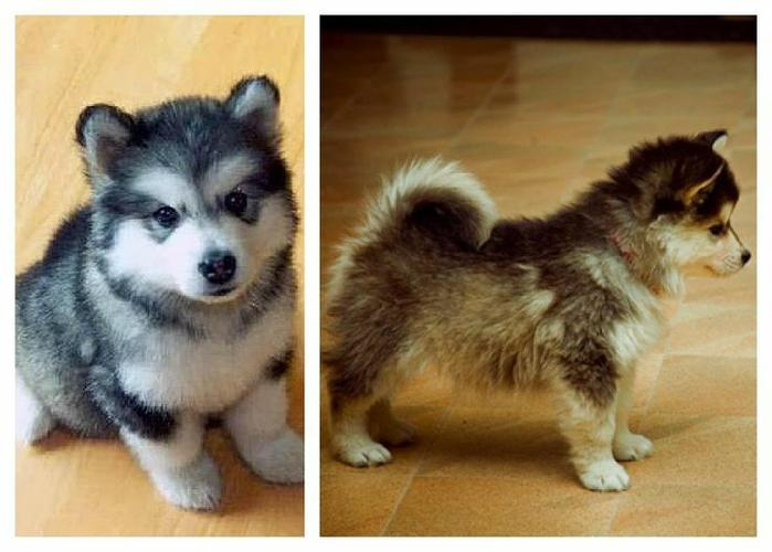 *Top Quality PO.MSKY puppies SMS (323) 744-4928