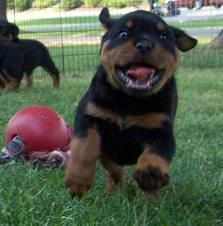 *Top Quality Female and Male R.o.t.t.w.e.i.l.e.r puppies (719) 982-8517**
