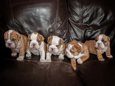 Excellent English Bulldog  puppies for sale (202)734-6034