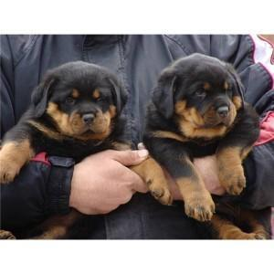 *Top Quality Female and Male R.o.t.t.w.e.i.l.e.r puppies 818-856-4827**