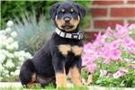 Two Gorgeous R.o.t.t.w.e.i.l.e.r Puppies Available.669) 221-7082