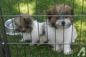 CUTIE S.H.I.H T.Z.U.Puppies: contact us at (301)539-2665