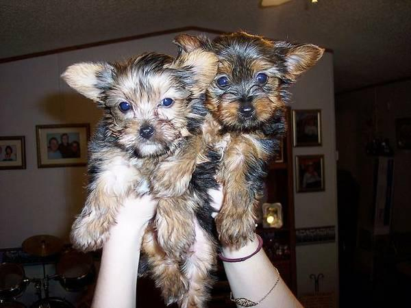 Ad title: Cute Female and Male Y.o.r.k.i.e puppies For Good Homes