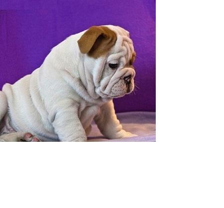 Gorgeous Englishh Bulldoggs Pu.ppies ) Need Hom (301) 636-5382.