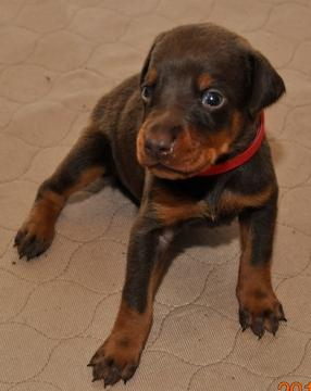 CHECK THIS OUT***Dobermann Puppies for Lovely Homes***