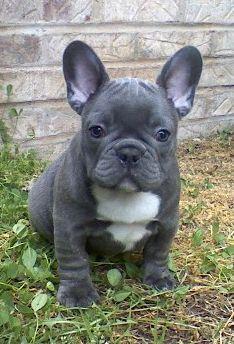 FREE FREE CUTE F.R.E.N.C.H B.ULLDO.G Puppies:??? (707) 943-8189