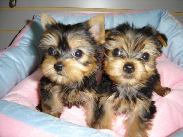 Pretty male and female Tea Cup Y.O.R.K.I.E PUPPIES for a good home