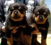 Male and Female R.o.t.t.w.e.i.l.e.r puppies 512-553-3823