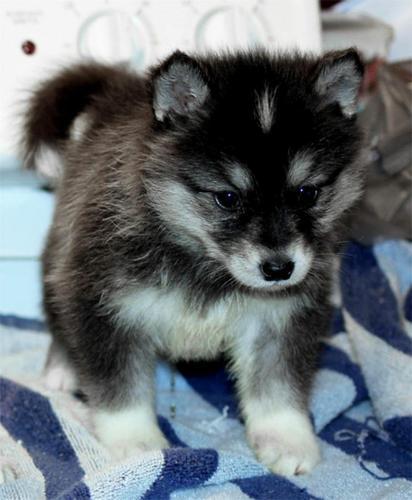FREE  CUTE P.O.M.S.K.Y. Puppies:???