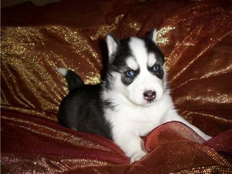 Siberian Husky puppies Looking to give them all happy and caring homes.