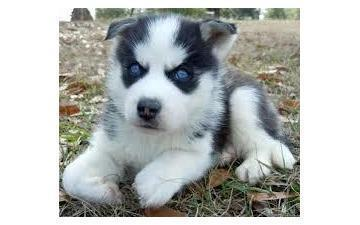 Blue eyes H.u.s.k.y. P.u.p.p.ie.s for free .