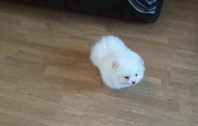 Cute, Adorable tea cup Pom puppies For sale (754) 216-6239