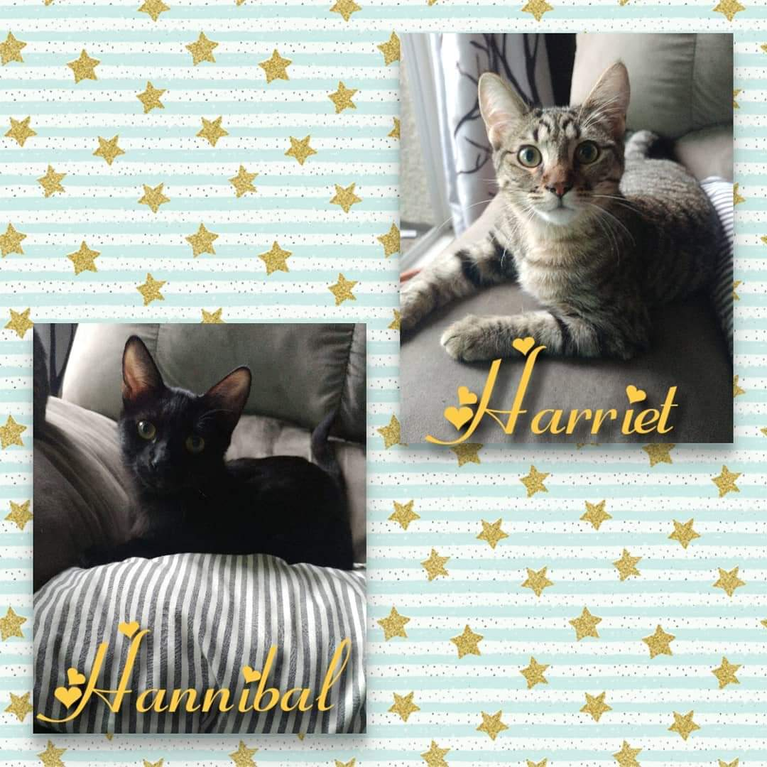 Bonded pair of 6 month old kittens looking for their forever home