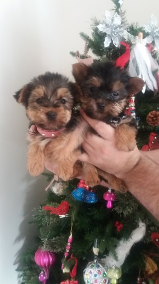 3 Mo Health Guarantee Yokie Puppies!!