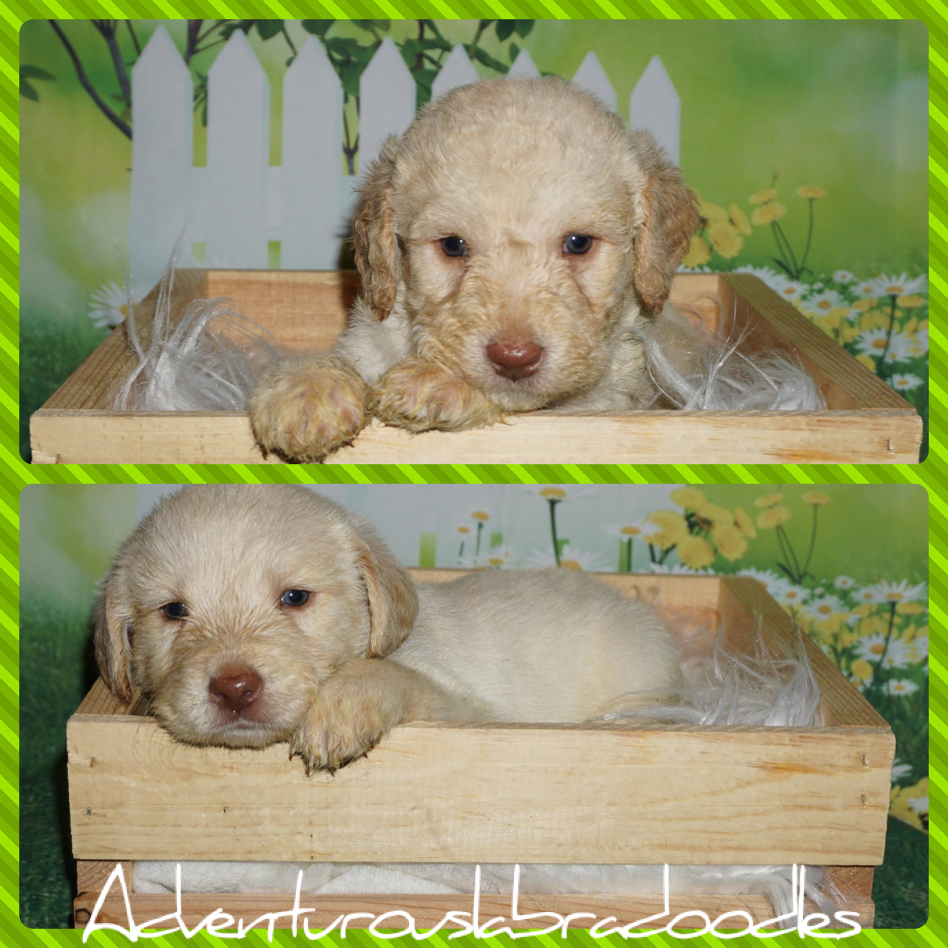Ckc registered labradoodle puppies
