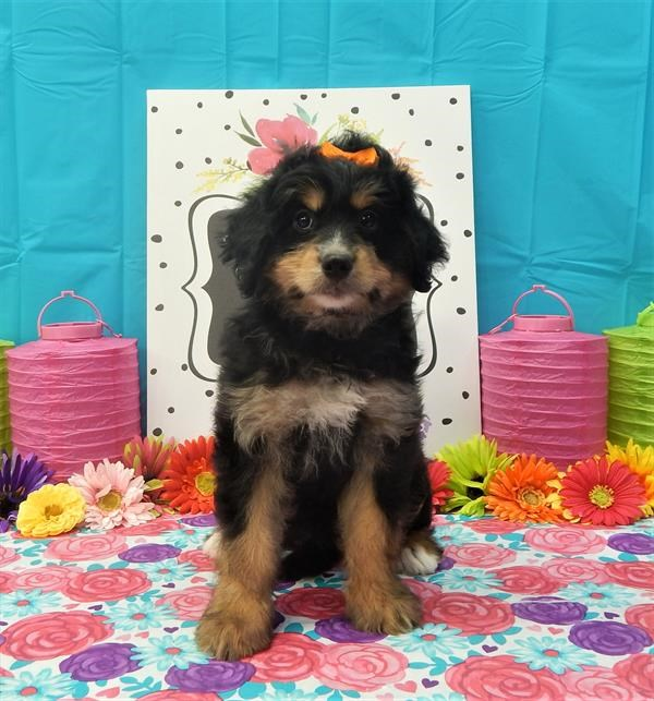 Cute Bernese Mountain Poodle Needs a New Home