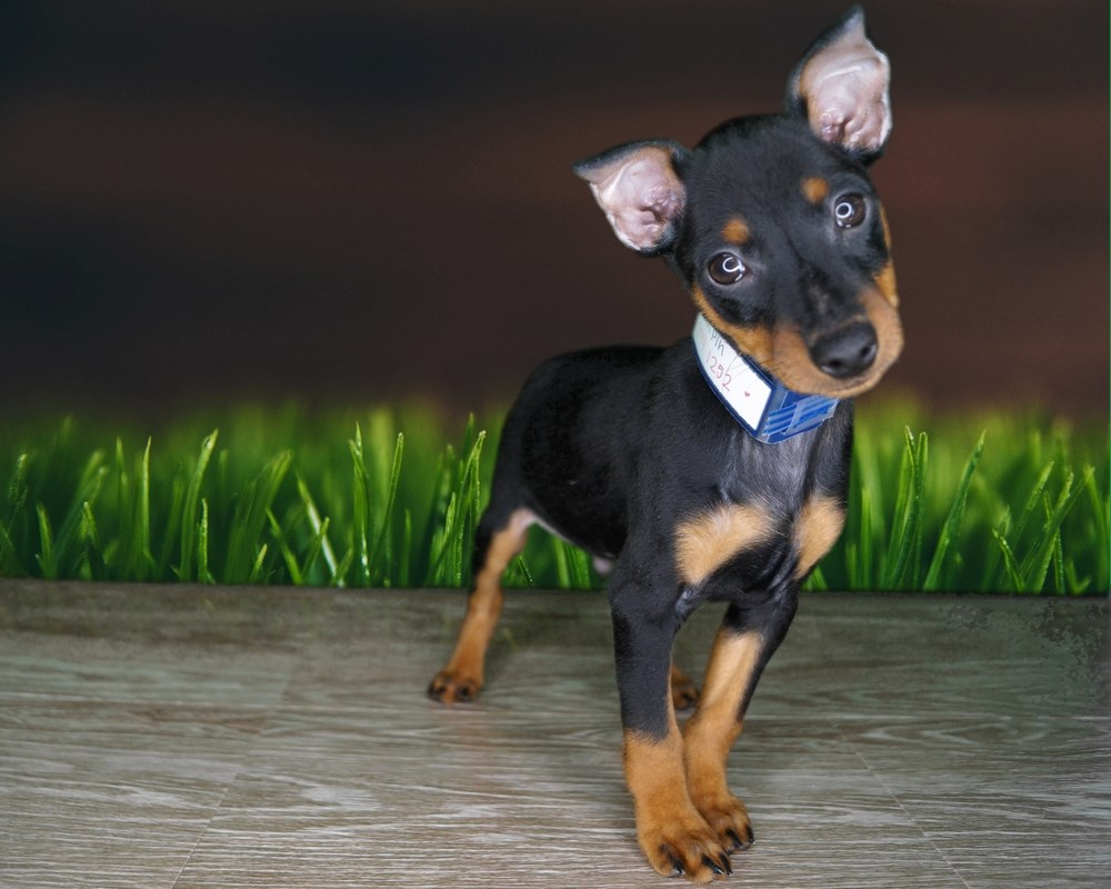 This Miniature Pinscher has a tiny body but a huge heart!