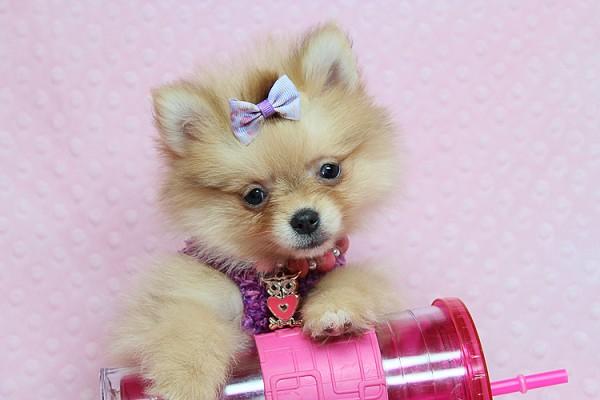 Pennysaver Adorable Teddy Bear Teacup Pomeranian Puppies For Sale In Las Vegas In Clark Nevada Usa