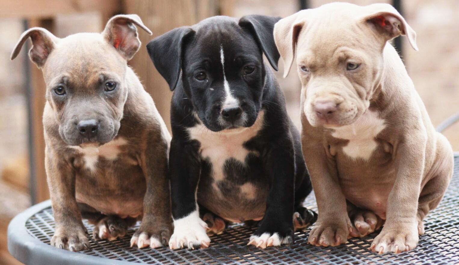 Gorgeous American pitbull for adoption