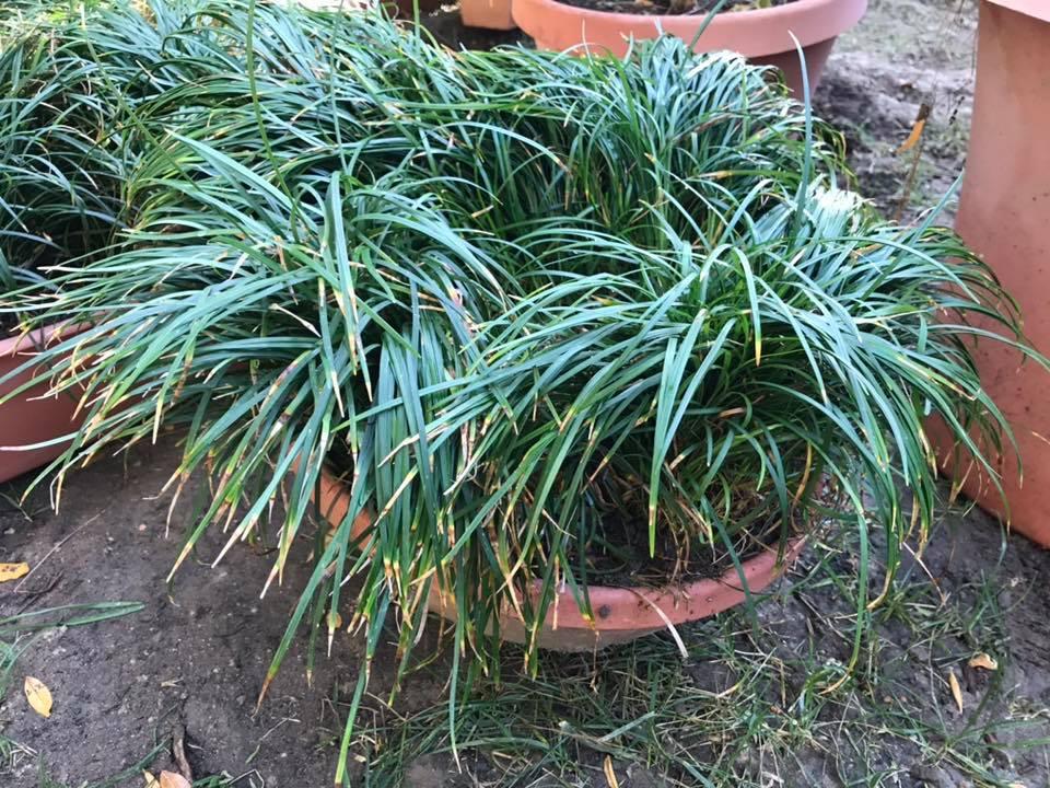 Mondo Grass (Mature)