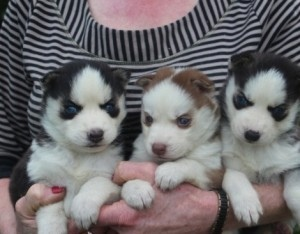 Husky Puppies text or call (617-615-9406)