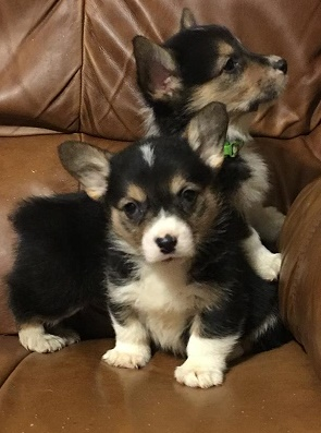 Banfauej Well Trained Pembroke Welsh Corgi Puppies. Text only at 7*7*5 *** 3*9*1 *** 5*1*9*4