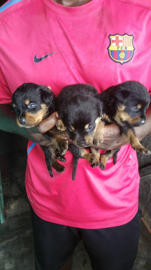 Akc Rotties vaccinated and dewormed