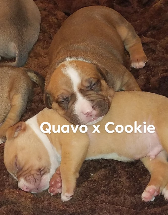 PennySaver | Dogo argentino x Italian Corso Puppies need a home in