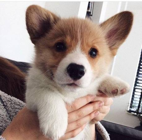 AKC Pembroke Welsh Corgi puppy for adoption.
