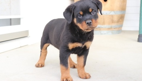 Stunning Rottweiler Puppies AKC Registered