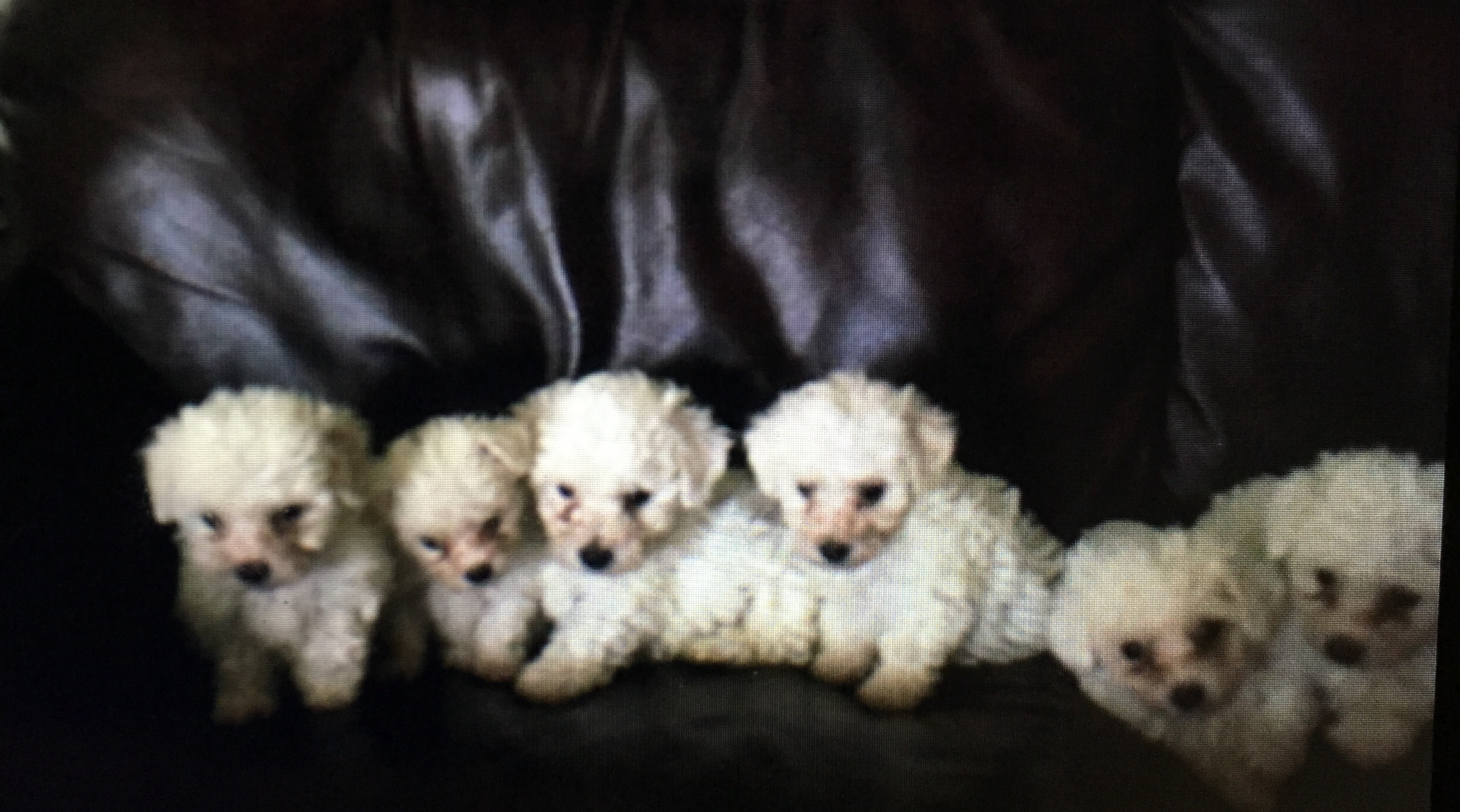 PennySaver | Male Havanese Puppy 4 Sale $200 in San