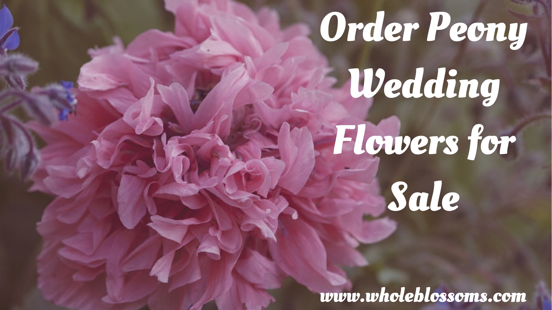 Order Fresh Cut Peonies Online at Wholesale Prices